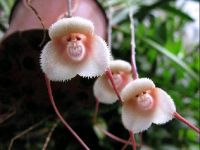 Monkey_Orchids