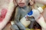 Baby capuchin monkeys Gorgeous Baby Capuchin Monkeys