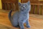 Beautiful and Lovely British Short Hair Kittens