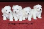 maltese  puppy female 10 week