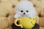 Purebred tiny ice white pomeranian pups for adoption