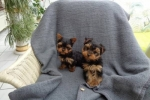 Yorkshire Puppies with Excellent Temperament